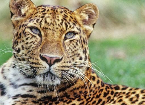 Der Amurleopard (Panthera pardus orientalis)lebte ehemals im Nordosten Chinas, dem nördlichen Korea und im Südwesten Russlands. Er ist heute vom Aussterben bedroht.